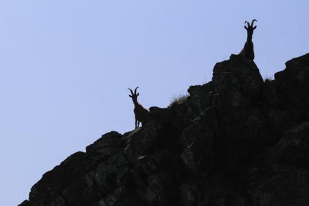 Portrait goats on rugged rocks below blue sky