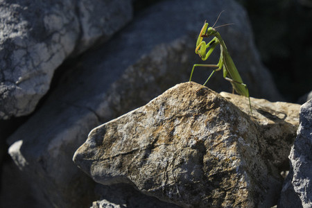 Praying mantis on sunny rock Croatia