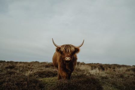 Portrait brown Highland Cow Peak District National Park England