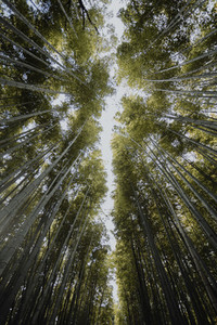 View from below tall majestic green bamboo trees Japan