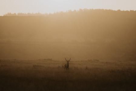 Deer at sunrise England