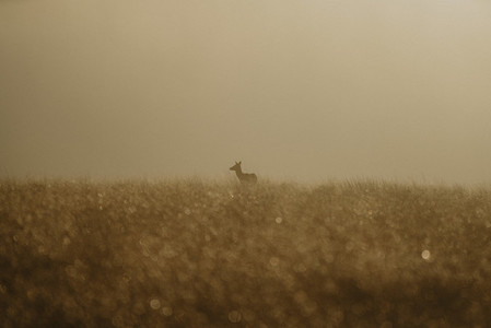 Fawn in golden field at sunrise England