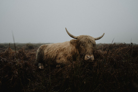 Portrait Highland Cow in field England