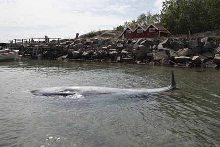 Small whale at water surface Sweden