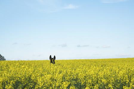 Donkey ears above sunny yellow canola field
