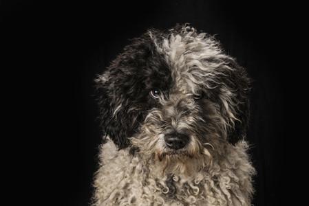 Portrait cute black and white dog on black background