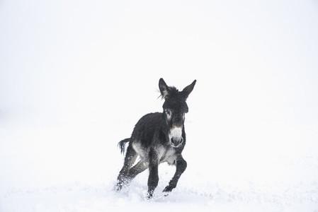 Cute black donkey running in snow