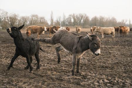 Donkeys kicking in rural field