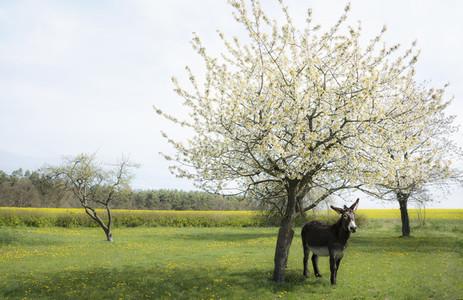 Donkey standing under spring apple blossom tree