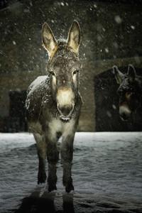 Portrait donkey in snow at night