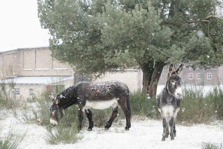 Donkeys below tree in snow on rural farm
