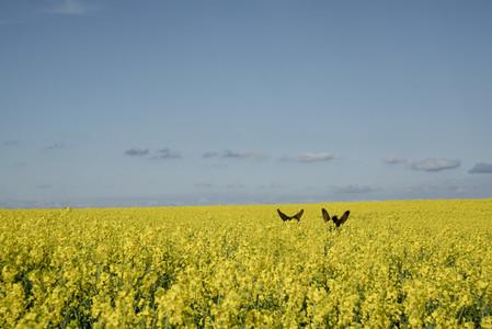 Donkey ears above vibrant yellow canola field