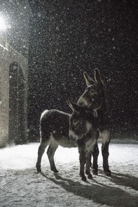 Donkeys in snow at night