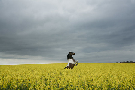 Beautiful brown and white horse rearing up in canola field