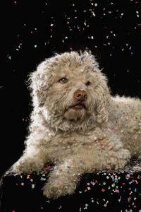 Confetti falling over dog on black background