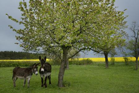 Donkeys standing under spring tree on farm