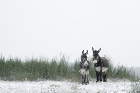 Portrait two donkeys in snowy field