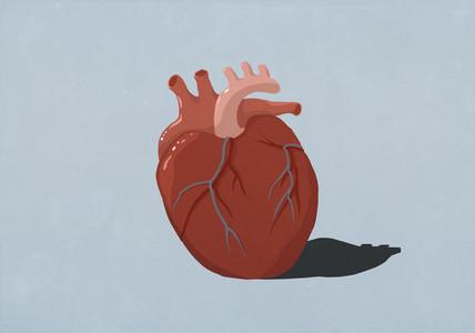 Human heart organ on blue background