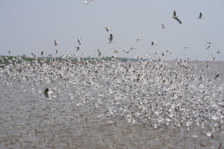 Seagulls at Bang Pu  The cold migratory seagulls from Siberia to