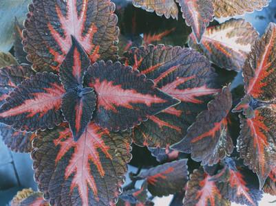 Close up of coleus leaf and plant