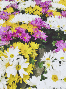 Texture and organic image full of colorful daisies