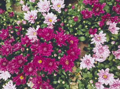 Background of Dark and pale pink daisies
