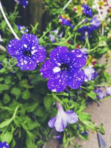 Beautiful purple and white galaxy petunia