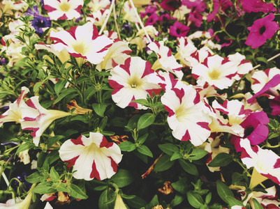 Amazing image of striped and colorful petunias