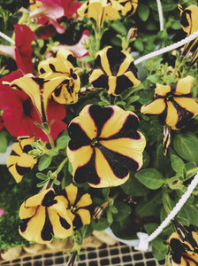 Exotic yellow and black petunias