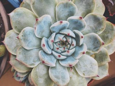 Close up of a beautiful echeveria lindsayana