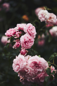 Beautiful pink rose bush