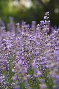 Purple lavender growing in field