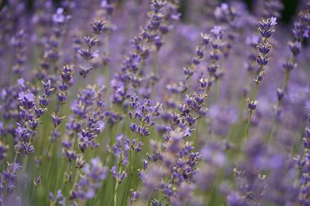 Purple lavender growing