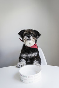 Portrait cute hungry dog waiting at dining table with dog bowl