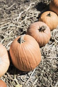 Orange harvested pumpkins