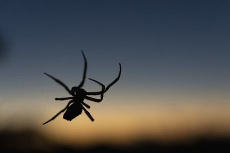 Close up silhouette spider against dusk sky