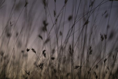 Close up detail silhouetted tall grass against purple sky