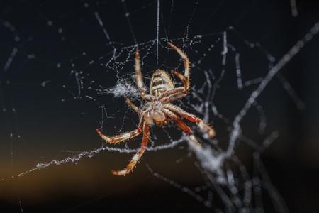 Close up Golden Orb spider spinning web