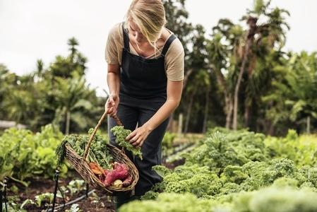 Female gardener picking fresh kale from a vegetable garden