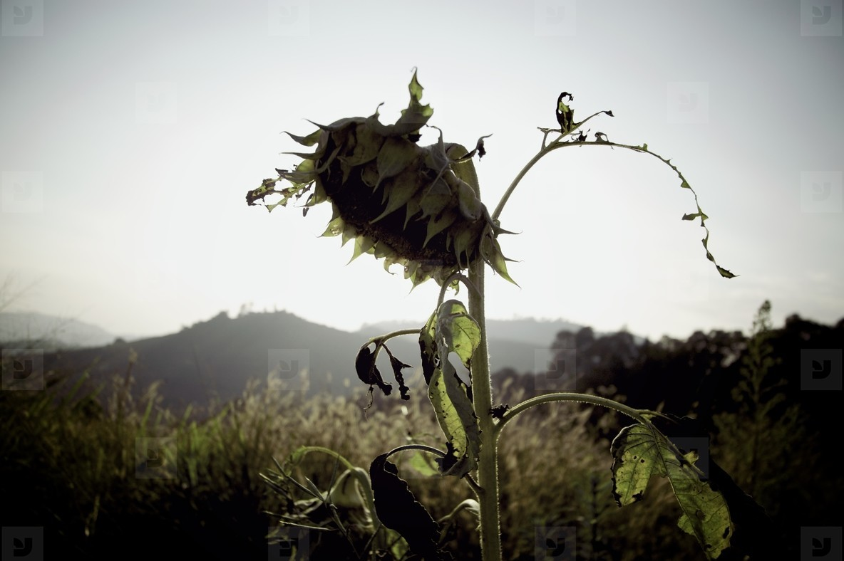 Dried up Sunflower