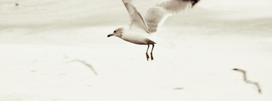 Winter White Seagull