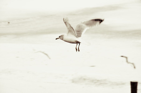 Winter White Seagull