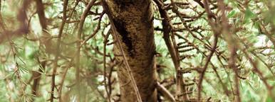 Evergreen Wish Tree  1