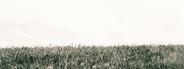 Clover Field 2