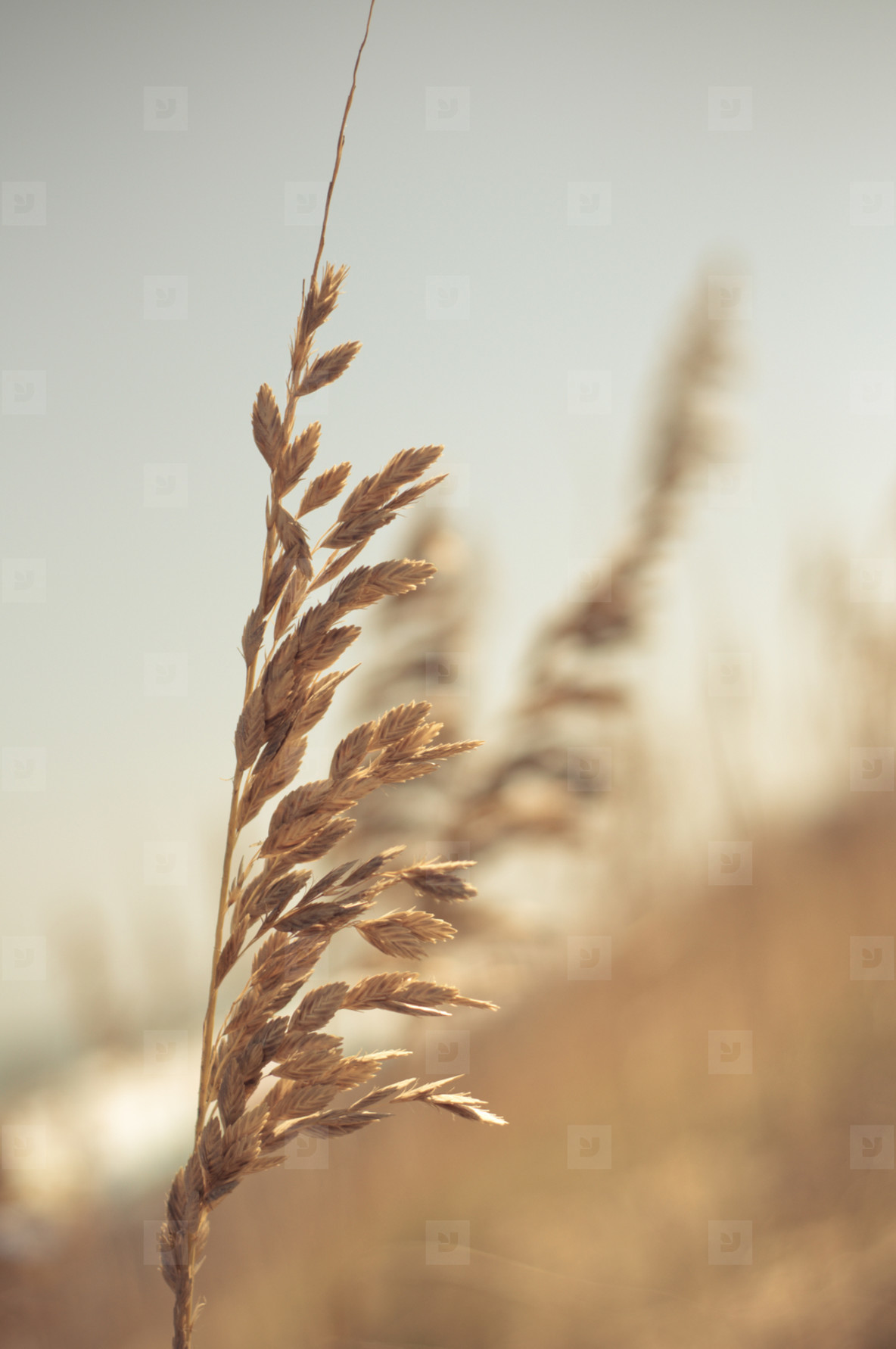 Single Sea Grass