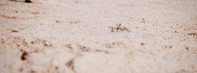 Sand Crab