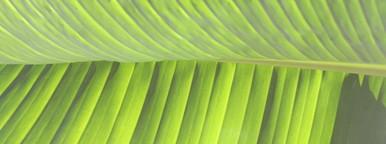 Banana leaf  1