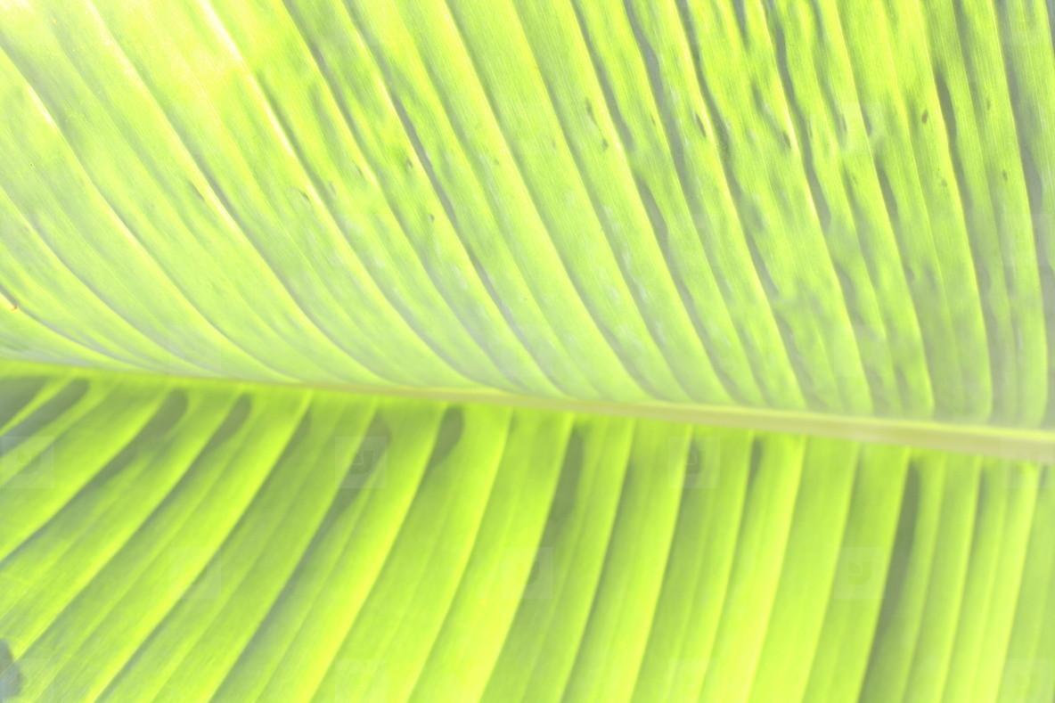 Banana leaf  2