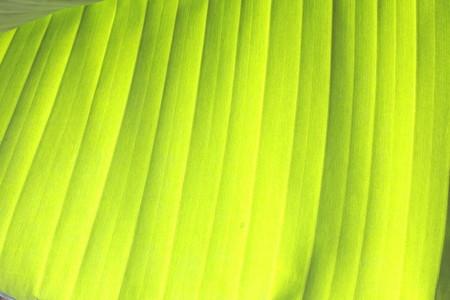 Banana leaf 3