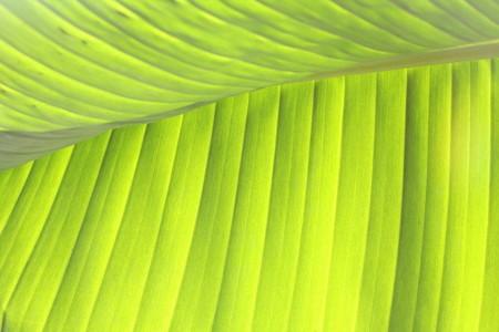 Banana leaf 4